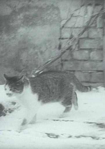 Kodėl katinui patrumpino uodegą